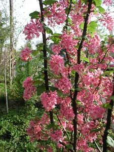 15 top native plants of the pacific northwest flowering shrubs native oregon shrubs pictured red flowering currant ribes sanguineum blooms in march publicscrutiny Images