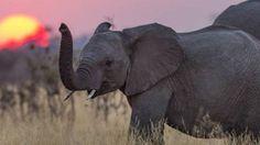 Turismo africano perde milhões devido à matança de elefantes | Ciência | EL PAÍS Brasil