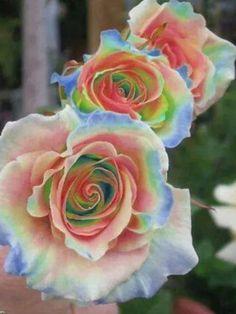 Flower garden Roses - 200 pcs Rare Holland Rainbow Rose Flower seeds Home Garden Rare Flower Seeds 24 color rainbow Rose Seeds Unusual Flowers, Rare Flowers, Amazing Flowers, Beautiful Roses, Beautiful Flowers, Rare Roses, Unique Roses, Lilies Flowers, Pretty Roses
