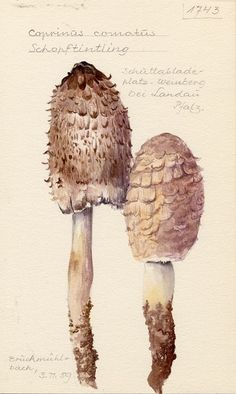 Coprinus comatus by Fritz Wohlfarth