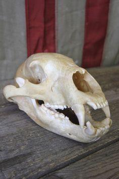 Bear Skull (thigh piece?)