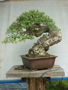 The upright styles in bonsai are one of the most popular and easy styles for beginners. Learn all about the two main upright styles in bonsai growing. Ficus Bonsai, Indoor Bonsai, Bonsai Garden, Indoor Plants, Old Trees, Small Trees, Ikebana, Mini Plantas, Bonsai Styles