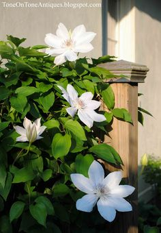 {Tone on Tone: Southern Living Photo Shoot}  Clematis Miss Bateman