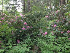 Alppiruusumetsä, Saari, Mäntsälä. Rhododendron.