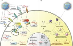 Overview of innate immune viral sensing systems and microRNA silencing mechanisms in a brain cell. (Credit: M M McMenamin et al, Gene Therapy) #NPG Nature Publishing Group