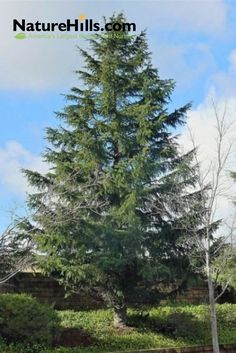 The Deodar Cedar Tree is an evergreen with lovely branch structure & blue-green needles! When added to your lawn, the Deodar Cedar will amaze you with its grace Best Trees For Privacy, Privacy Trees, Cedrus Deodara, Evergreen Landscape, Fast Growing Trees, Cedar Trees, Simple Elegance, Hedges, Backyard Ideas