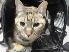 LILY - A1041693 - - Brooklyn   ***TO BE DESTROYED 07/06/15*** SECOND CHANCE TONIGHT FOR LOVELY LILY. LILY IS A DECLAWED SENIOR KITTY DUMPED FOR ALLERGIES – NOW SHE CAUGHT THE SHELTER COLD AND WILL DIE FOR IT!! Poor LILY lived with her family for 10 long years after being found in a box. Now at the age of 10 years old – her owner dumps her for allergies. LILY has lived with young children and is tolerant of them. She also has lived with a dog and another cat. LIL