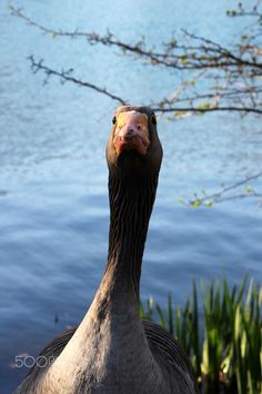 Greylag geese portrait - This greylag geese was taken in Lyon in the famous 'Parc de la Tête d'Or'.