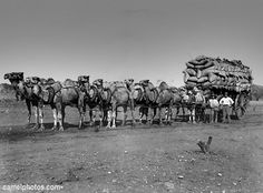 Camels pulling a wagon in the Australian outback. Work In Australia, Western Australia, Aboriginal History, Animal Captions, Australian Politics, Work With Animals, Mystery Of History, Australian Animals, Old Photos