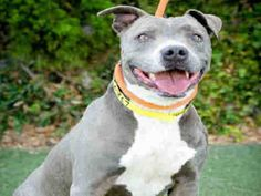 STILL AVAILABLE 9/3/16 ~ 8/30/16 Meet ADDY, a young adult female Pit Bull mix (?) at the City of Los Angeles Southern LA Animal Shelter in need of being ADOPTED or FOSTERED, VERY QUICKLY!!!!