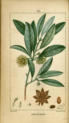 Illustration taken from 'Flore Médicale' by F. Illustration Botanique, Plant Illustration, Impressions Botaniques, Plant Painting, Plant Art, Nature Posters, Fruit Plants, Motif Floral, Fruit Art