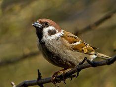 Sparrow, Sperling, Bird, Sitting