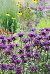 Monarda Blaustrumpf - Plants