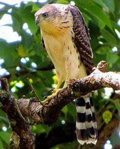 Foto gavião-bombachinha-grande (Accipiter bicolor) por Carlos H.de Souza