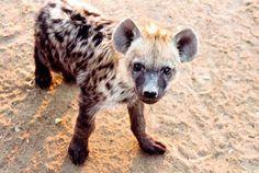 Baby hyena http://ift.tt/2ntFwEQ