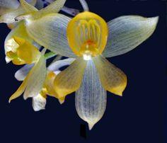 Orchid: Sievekingia marsupialis