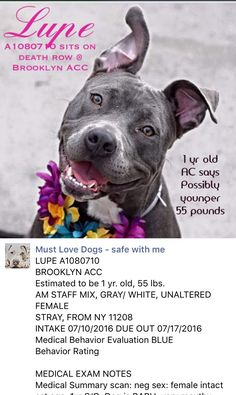 SAFE❤️❤️ 7/26/16 Brooklyn Center LUPE – A1080710 FEMALE, GRAY / WHITE, STAFFORDSHIRE MIX, 1 yr STRAY – STRAY WAIT, HOLD FOR ID Reason STRAY Intake condition UNSPECIFIE Intake Date 07/10/2016, From NY 11208, DueOut Date http://nycdogs.urgentpodr.org/lupe-a1080710/
