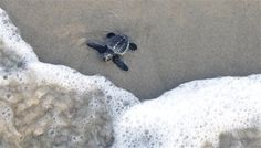 A Kemp's ridley hatchling makes its way to the Gulf of Mexico as it is released Friday, June 1, 2012, at Malaquite Beach in Corpus Christi, Texas.
