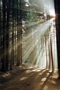 Wonderful rays of sunlight through the thin tree trunks!