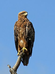 Tawny eagle standing sentinel over the African bush. Stunning sighting in the Kruger National Park (South Africa)