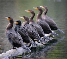 Grand cormoran.  ( Phalacrocoxax carbo ). Cormorant.   Cormorant groomsmen