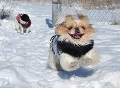 littlest pet shop pekingese puppy - Google Search Pekingese Puppies, Little Pets, Pet Shop, Corgi, Google Search, Animals, Pets, Pet Store, Corgis