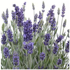 Earthcare Seeds English Lavender 500 Seeds (Lavandula angustifolia) Heirloom - Perennial - Non GMO