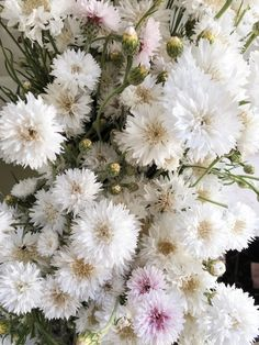 White bachelor buttons grown at Love 'n Fresh Flowers.