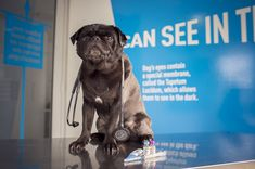 Remembering every question to ask your vet when you go to your pug's annual check up is not easy. Read part 2 in our 10 questions to ask your vet about your pug. What If Questions, This Or That Questions, Frozen Dog Treats, History Taking, Dog Ages, Vet Clinics, Cat Food, Fleas, Cool Suits