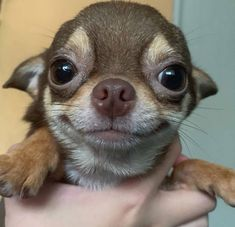 What is a blue chihuahua? How are blue chihuahua puppies different? Cute Dogs And Puppies, Baby Dogs, I Love Dogs, Doggies, Puppies Puppies, Cute Little Animals, Cute Funny Animals, Funny Dogs, Baby Chihuahua