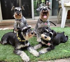Pinner says...........There's always one in the class picture! We have four adorable Miniature Schnauzers. Mr. Bo Daniels, Miss Mini Pearl, Daisy May Daniels and our new addition Miss Honey Boo. She is the Daughter