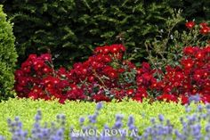 Monrovia's Flower Carpet® Red Groundcover Rose details and information. Learn more about Monrovia plants and best practices for best possible plant performance.