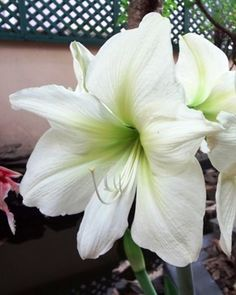 Beauty of my Amaryllis.