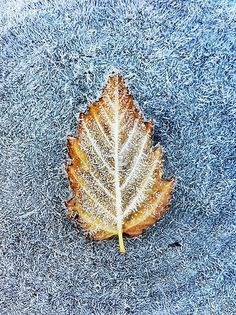 Frosty leaf by Paul Duncan | #iPhoneography #iPhone #Photography [Prints available]
