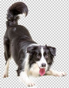 This PNG image was uploaded on January pm by user: laihoj and is about Dogs. Black Background Images, Photo Background Images, Photo Backgrounds, People Png, Cut Out People, Photoshop Rendering, Photoshop Tips, Border Collie Puppies, Happy Art