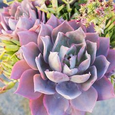 Echeveria - Top Types of Succulents for Home Gardens - Sunset