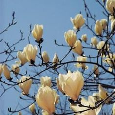 58 Best Little Gem Magnolia Tree Images Little Gem