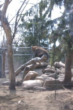 Grizzly at stoon zoo