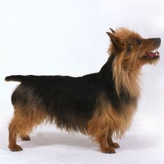 Australian Terrier - Small Dog Breed Profile