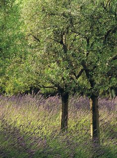 Olive tress and lavender in Provence, France, again, however, I am thinking apples instead of the olives Provence Garden, Provence Lavender, Provence Style, Provence France, French Lavender, Lavender Blue, Lavender Flowers, Terre Nature, Landscape Design