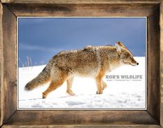 Coyote on the Prowl in Lamar Valley inside of Yellowstone National Park. Photography Print by Rob's Wildlife