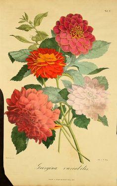 Bd.1 1824 - Verhandlungen des Vereins zur Beförderung des Gartenbaues in den Königlich Preussischen Staaten. - Biodiversity Heritage Libra...