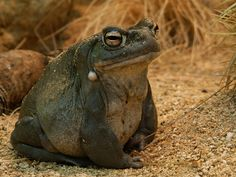 Jabba the Toad