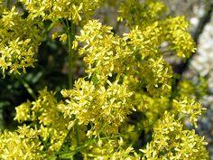 Wede (Isatis tinctoria)