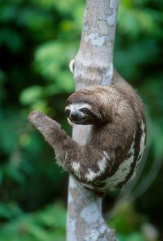 +++ Pygmy Three-Toed Sloth (Critically Endangered - In Thousands And Decreasing). Conservation Attention: None