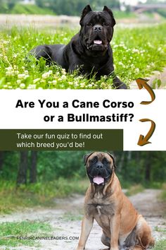 Have you ever wondered which of these two insanely popular Mastiff breeds you would be? Is your personality more like a Cane Corso or a Bullmastiff? Take our fun quiz to find out! More about dog breeds at Fenrir Canine Leaders! Best Guard Dog Breeds, Best Guard Dogs, Giant Dog Breeds, Giant Dogs, Best Dogs For Families, Family Dogs, Cane Corso Dog Breed, Mastiff Breeds, Bullmastiff