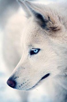 Beautiful white wolf with amazing electric blue eyes!