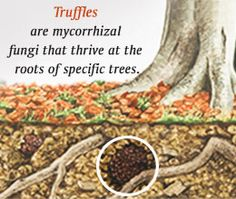 Facts about Truffles and their Varieties Used in Cooking Growing Mushrooms At Home, Garden Mushrooms, Edible Mushrooms, Wild Mushrooms, Stuffed Mushrooms, Edible Plants, Edible Garden, Veg Garden, Lawn And Garden