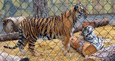 China is Breeding Tigers Like Cattle and It's a Billion Dollar Industry