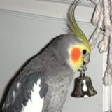 Cockatiels, Information on Cockatiels, care, diet, health, illness, behavior, biting, screaming, feather plucking, medical emergencies, normal and abnormal droppings, symptoms of sick birds, cockatiels and baths, bathing, cleaning and disinfecting cages, safe and toxic plants, household hazards, first aid for birds, blood feathers, broken blood feathers, breeding, handfeeding, egg binding,preening, molting, pet names for your new cockatiels, message board, bird lost and found classified ads…